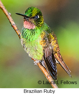 Brazilian Ruby - © Laura L Fellows and Exotic Birding Tours