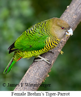 Brehm's Tiger-Parrot - © James F Wittenberger and Exotic Birding Tours