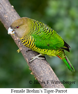 Brehm's Tiger-Parrot - © James F Wittenberger and Exotic Birding LLC