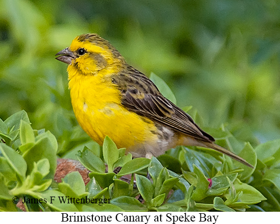Brimstone Canary - © James F Wittenberger and Exotic Birding LLC