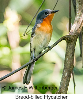 Broad-billed Flycatcher - © James F Wittenberger and Exotic Birding Tours