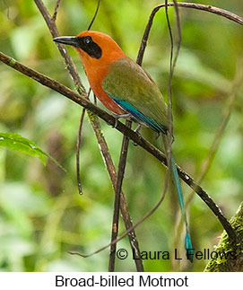 Broad-billed Motmot - © Laura L Fellows and Exotic Birding LLC
