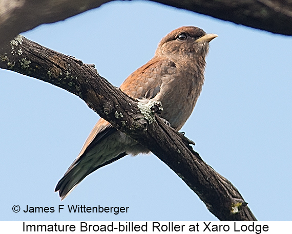 Broad-billed Roller - © James F Wittenberger and Exotic Birding LLC