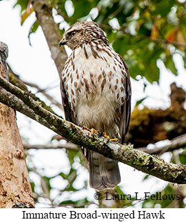 Broad-winged Hawk - © Laura L Fellows and Exotic Birding LLC