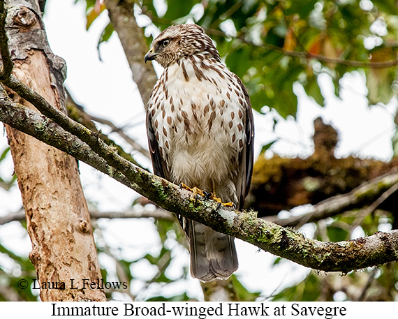 Broad-winged Hawk - © Laura L Fellows and Exotic Birding Tours