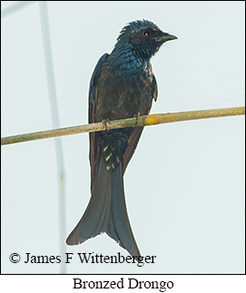 Bronzed Drongo - © James F Wittenberger and Exotic Birding Tours