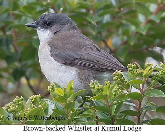 Brown-backed Whistler - © James F Wittenberger and Exotic Birding LLC