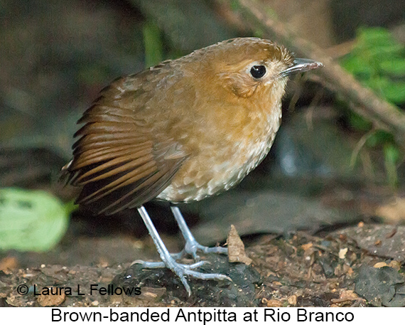 Brown-banded Antpitta - © Laura L Fellows and Exotic Birding LLC