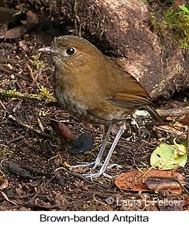Brown-banded Antpitta - © Laura L Fellows and Exotic Birding Tours