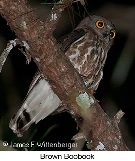 Brown Boobook - © James F Wittenberger and Exotic Birding LLC