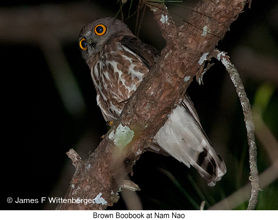 Brown Boobook - © James F Wittenberger and Exotic Birding Tours
