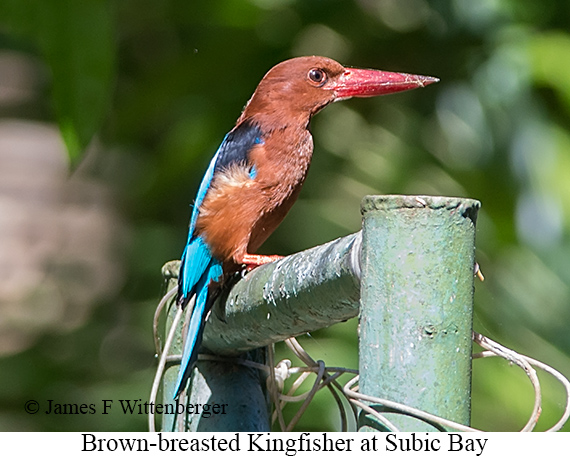 Brown-breasted Kingfisher - © James F Wittenberger and Exotic Birding Tours