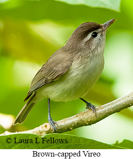 Brown-capped Vireo - © Laura L Fellows and Exotic Birding Tours