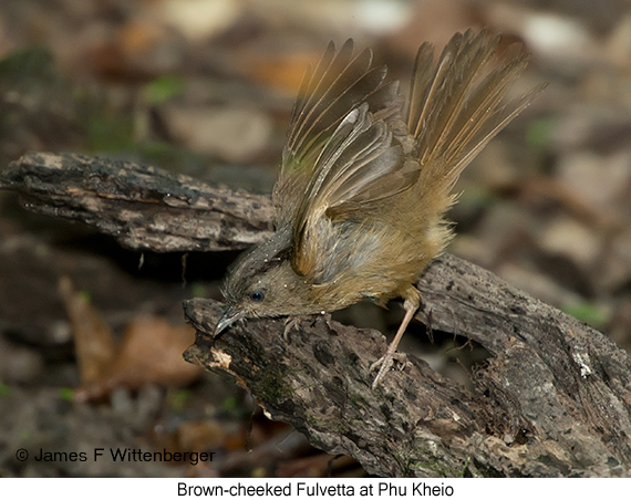 Brown-cheeked Fulvetta - © James F Wittenberger and Exotic Birding Tours