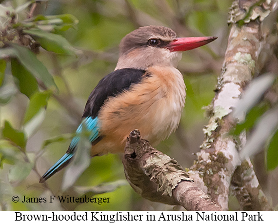 Brown-hooded Kingfisher - © James F Wittenberger and Exotic Birding LLC