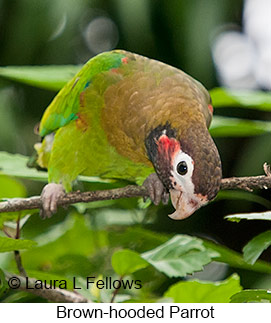 Brown-hooded Parrot - © Laura L Fellows and Exotic Birding LLC