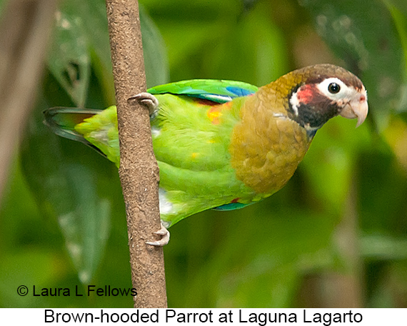 Brown-hooded Parrot - © Laura L Fellows and Exotic Birding Tours
