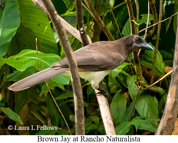 Brown Jay - © The Photographer and Exotic Birding LLC