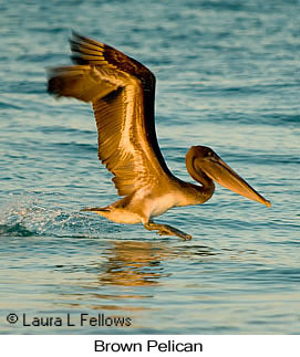 Brown Pelican - © Laura L Fellows and Exotic Birding LLC