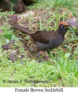 Brown Sicklebill - © James F Wittenberger and Exotic Birding LLC