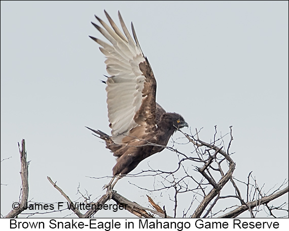 Brown Snake-Eagle - © James F Wittenberger and Exotic Birding LLC