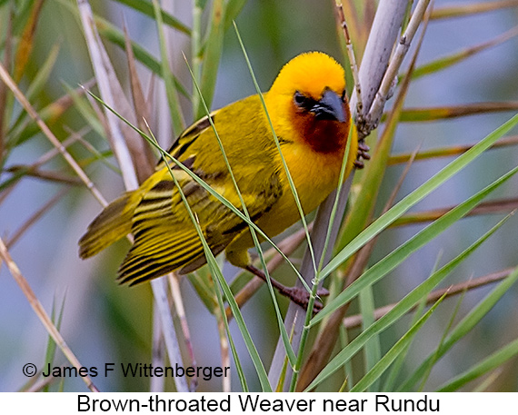 Brown-throated Weaver - © Laura L Fellows and Exotic Birding Tours
