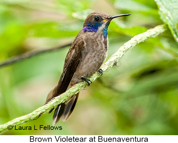 Brown Violetear - © Laura L Fellows and Exotic Birding Tours