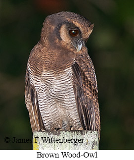 Brown Wood-Owl - © James F Wittenberger and Exotic Birding Tours