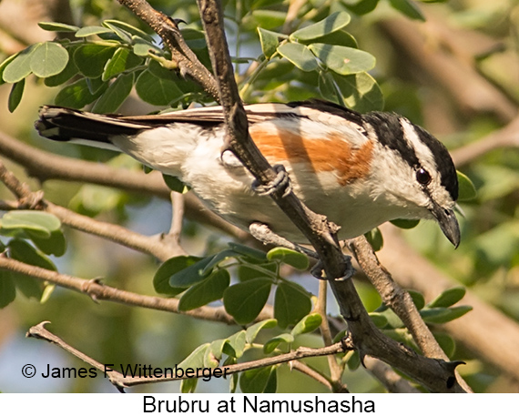 Brubru - © The Photographer and Exotic Birding LLC