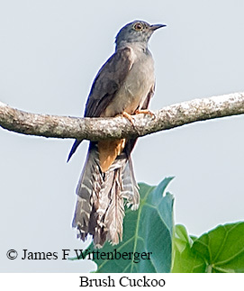 Brush Cuckoo - © James F Wittenberger and Exotic Birding LLC