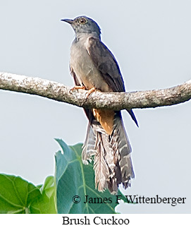 Brush Cuckoo - © James F Wittenberger and Exotic Birding Tours