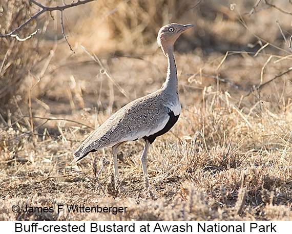 Buff-crested Bustard - © James F Wittenberger and Exotic Birding LLC