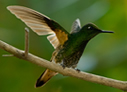 Buff-tailed Coronet - © The Photographer and Exotic Birding LLC