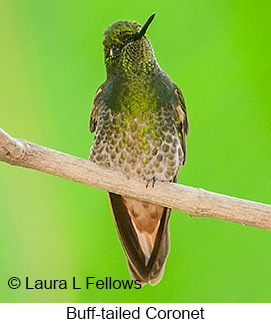Buff-tailed Coronet - © Laura L Fellows and Exotic Birding Tours