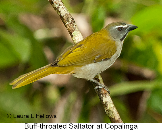 Buff-throated Saltator - © Laura L Fellows and Exotic Birding Tours