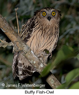 Buffy Fish-Owl - © James F Wittenberger and Exotic Birding LLC