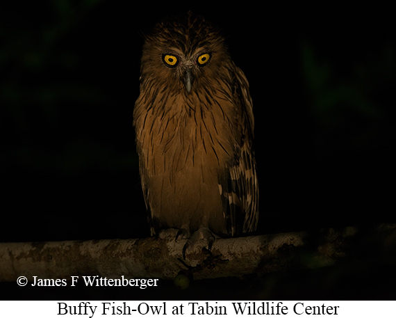 Buffy Fish-Owl - © James F Wittenberger and Exotic Birding Tours