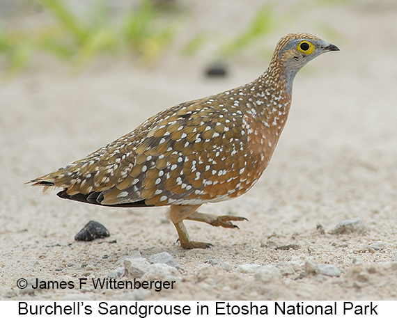 Burchell's Sandgrouse - © Laura L Fellows and Exotic Birding Tours