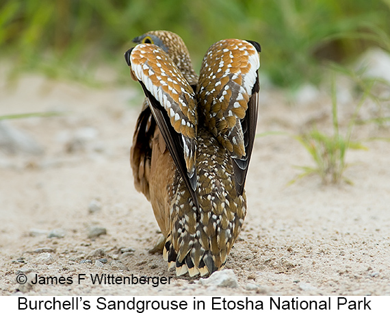 Burchell's Sandgrouse - © James F Wittenberger and Exotic Birding LLC