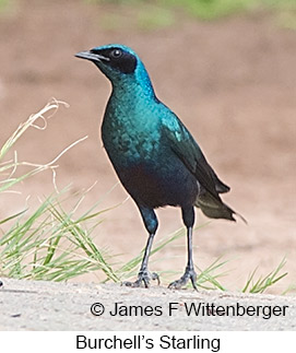 Burchell's Starling - © James F Wittenberger and Exotic Birding LLC