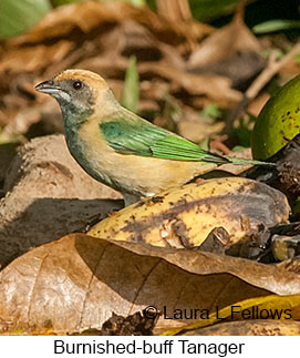 Burnished-buff Tanager - © Laura L Fellows and Exotic Birding Tours