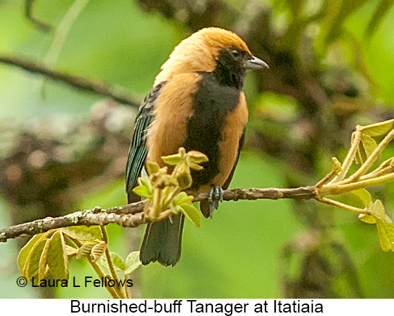Burnished-buff Tanager - © Laura L Fellows and Exotic Birding LLC