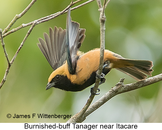 Burnished-buff Tanager - © The Photographer and Exotic Birding LLC