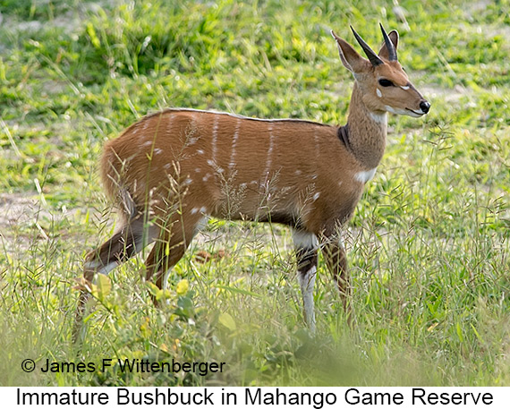 Bushbuck - © The Photographer and Exotic Birding LLC