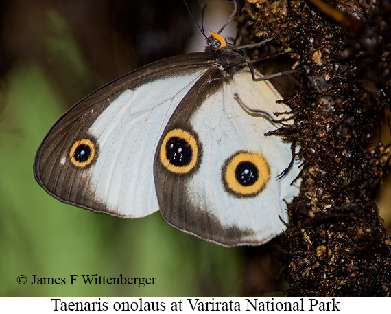 Butterfly-taenaris Onolaus - © The Photographer and Exotic Birding LLC