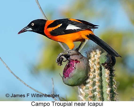 Campo Troupial - © The Photographer and Exotic Birding LLC