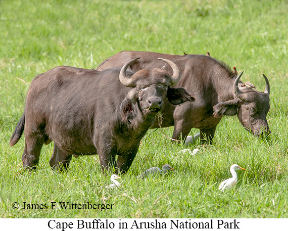 Cape Buffalo - © James F Wittenberger and Exotic Birding Tours