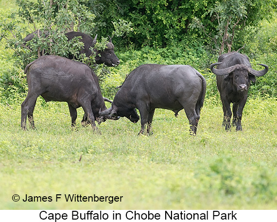 Cape Buffalo - © The Photographer and Exotic Birding LLC