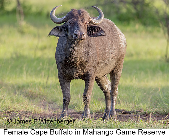 Cape-buffalo Female - © James F Wittenberger and Exotic Birding LLC