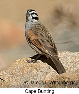 Cape Bunting - © James F Wittenberger and Exotic Birding LLC